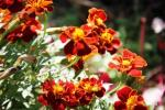 Andani- French Marigolds1