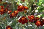 Andani- French Marigolds5