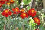 Andani- French Marigolds6