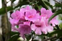 Andani- Mansonia alliaceae7