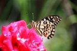 Andani- Dwarf Lime Butterfly1