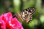 Andani- Dwarf Lime Butterfly2
