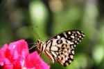 Andani- Dwarf Lime Butterfly4