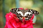Andani- Dwarf Lime Butterfly5