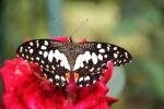 Andani- Dwarf Lime Butterfly6