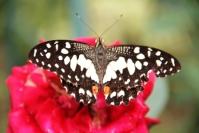 Andani- Dwarf Lime Butterfly7
