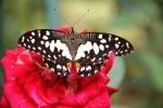 Andani- Dwarf Lime Butterfly8