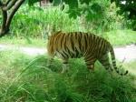Harimau1