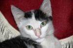 Kucing bernama Persia