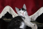 Kucing bernama Persia2