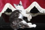 Kucing bernama Persia3
