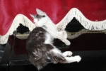 Kucing bernama Persia4