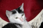 Kucing bernama Persia6