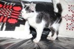 Kucing bernama Persia8