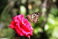Andani- Dwarf Lime Butterfly3