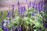 Andani Blue Salvia