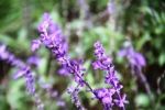 Andani Blue Salvia1