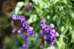 Andani Blue Salvia2