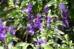 Andani Blue Salvia4