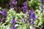 Andani Blue Salvia5