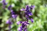 Andani Blue Salvia6