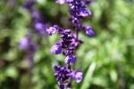 Andani Blue Salvia8