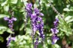 Andani Blue Salvia9