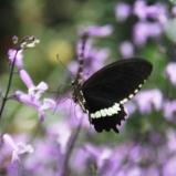 Andani-Papilio demolion 1
