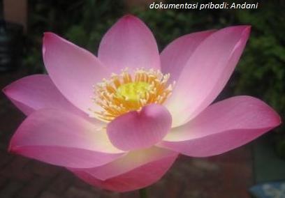 Andani - Pink Lotus