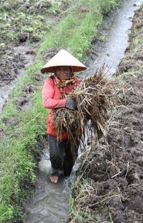 Wanita Bali Bekerja Di Sawah