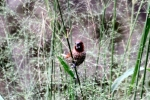 Burung Peking 3