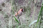 Burung Peking 4