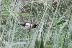 Burung Pipit 2