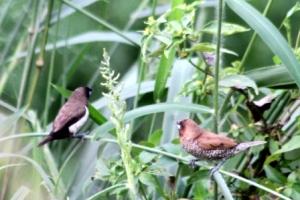Burung Pipit Dan Burung Peking 1