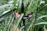 Burung Pipit Dan Burung Peking 2