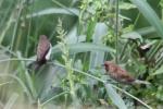 Burung Pipit Dan Burung Peking