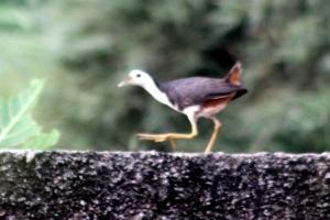 Burung Terkwak 1