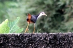Burung Terkwak 4