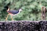 Burung Terkwak 5