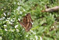 Chocolate Pansy Butterfly 6