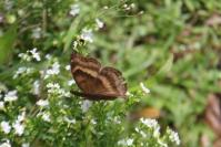 Chocolate Pansy Butterfly 7