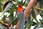 Scarlet Headed Flowerpecker 4