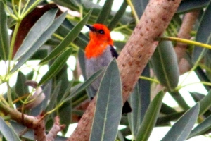 Scarlet Headed Flowerpecker 4
