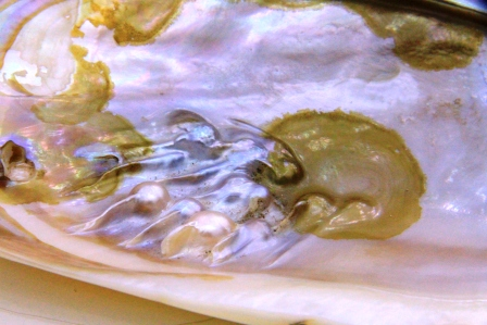 kerang mutiara air tawar nimadesriandani