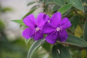 Bunga Senggani