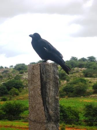 Burung gagak berukuran besar sedang bertengger di atas batu pagar camp