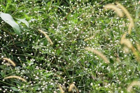 Semak Bunga Ratna Putih  Liar