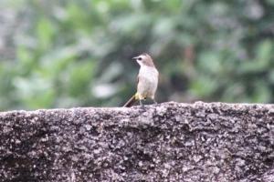 Burung Cerukcuk 6