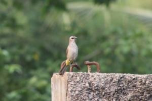 Burung Cerukcuk 9