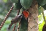 Burung Cerukcuk Makan Buah Pepaya